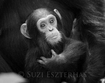 Cuddle Baby Chimpanzee Photo Baby Monkey Baby Animal Nursery