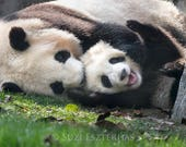 BABY PANDA and MOM Photo ...