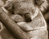 SLEEPY KOALA Photo, Sepia...