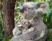 BABY KOALA Hugging MOM Ph...