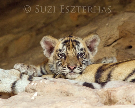 Baby Animal Photography Cute Tiger Photo Print Wildlife