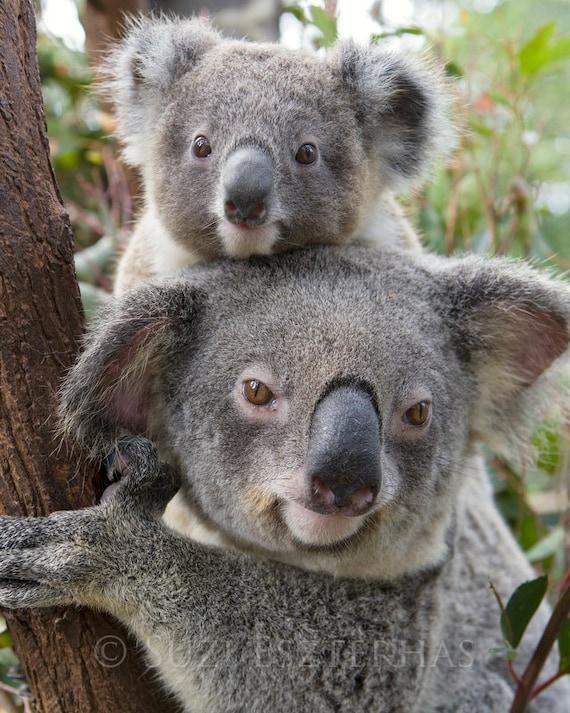 Koala baby and mom photo mom and baby animals baby boy etsy - Pics of baby koalas ...