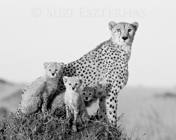 To acquire Photography cheetah black and white picture trends