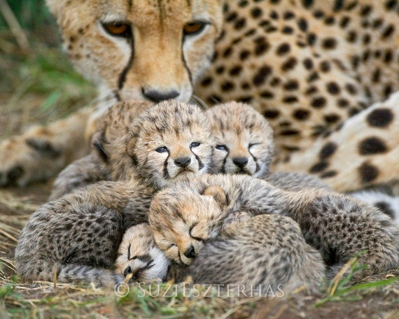 Baby Cheetah Cubs Photo Baby Animal Photography African Etsy