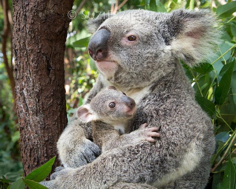 Photo de maman treindre b b koala koala bear baby nursery etsy - Pics of baby koalas ...