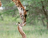 BABY GIRAFFE and MOTHER P...