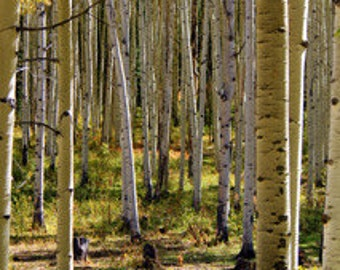 Aspen Grove - Original Photography -Greeting Cards and Photo Prints