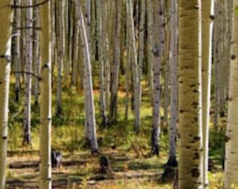 "Golden Grove of Aspens After the Rain - Kebler Pass - Photograph Thinwrap - 12"" x 20"""