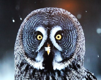 "Great Gray Owl Photograph Did I Hear a Mouse?  Thinwrap 16"" x 16"""