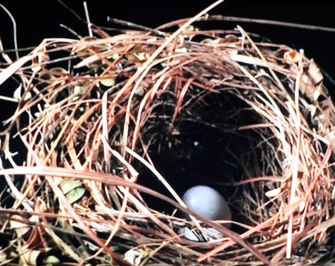 Robin Nest With Two Blue Eggs - Original Photography ThinWrap