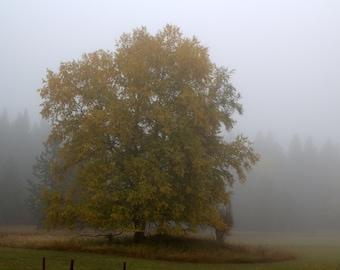 Oak Tree In A Foggy Montana Meadow - Original Photography ThinWrap