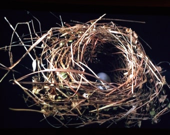 Mini ThinWrap Robin Nest Photograph with Blue Eggs