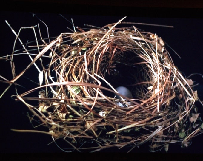 Mini ThinWrap Robin Nest Photograph with Blue Eggs
