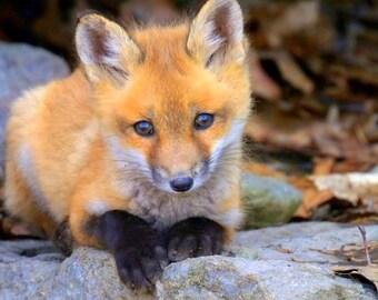 "Red Fox Kit Thinwrap Photo Print of Original Photography 12"" x 12"""