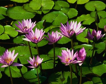 Pink Water Lilies - Original Photography ThinWrap Print