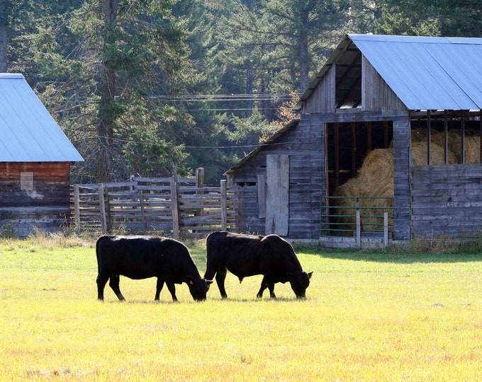Grazing Cows by Barn- Original Photography ThinWrap 8 1/2 x 11