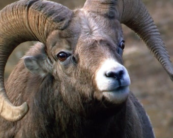 Sizing Up the Competition - Bighorn Ram Photography - (See Separate Listing for Greeting Cards and Photo Prints)