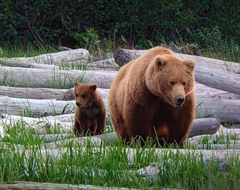 Canadian Brown Bear and Cub Greeting Cards and Photo Prints