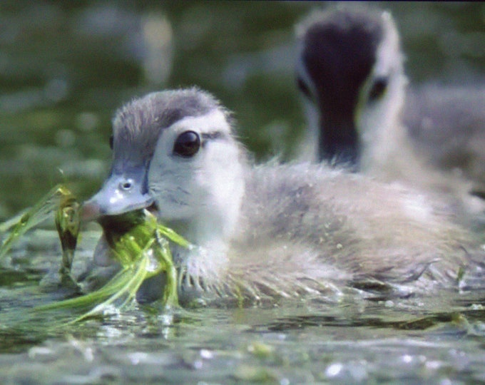 Duck Soup- Original Photography of a Wood Duckling