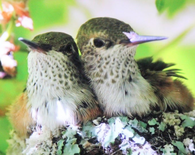 Humbies -  Hummingbird Babies Canvas or ThinWrap Prints (See Separate Listing for Greeting Cards and Photo Prints)