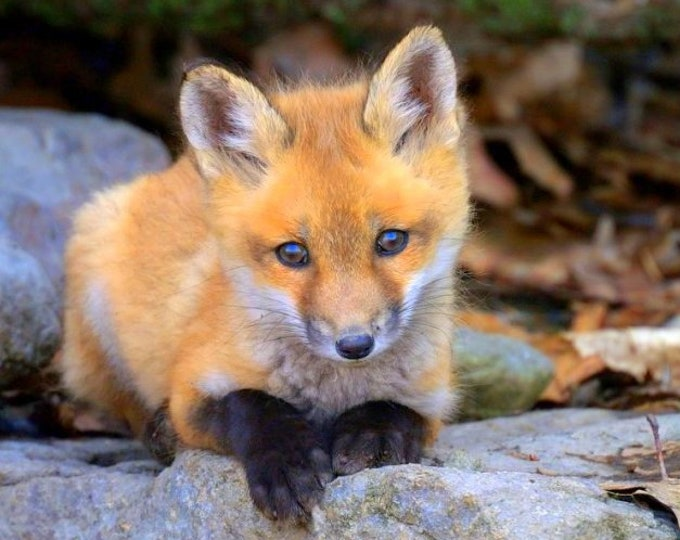 Red Fox Kit Greeting Card and Envelope (see Other Listing for Reprints in Various Sizes)
