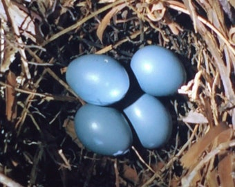 Robin Eggs in a Nest 5 x 5 Inches Thinwrap Photo Print