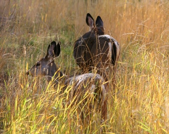 Sisters- Mule Deer Doe in Tall Grass Photo Mounted on Wood