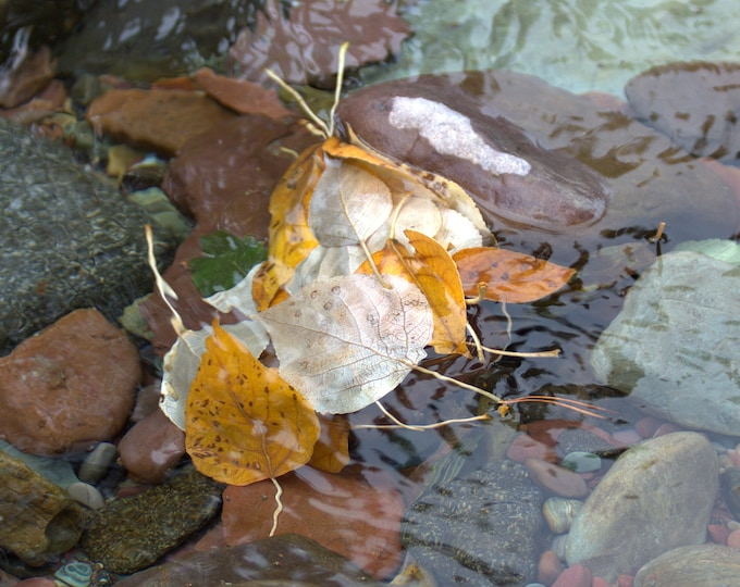 Autumn Leaves Floating in the Creek - Bob Marshall Wilderness -Photograph- Thinwrap