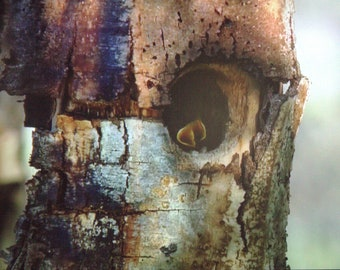 Bluebird Babies in A Hollow Tree Nest- Original Photography ThinWrap