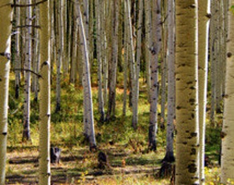 Aspen Grove - Original Photography - Canvas or ThinWrap Prints (See Separate Listing for Greeting Cards and Photo Prints)