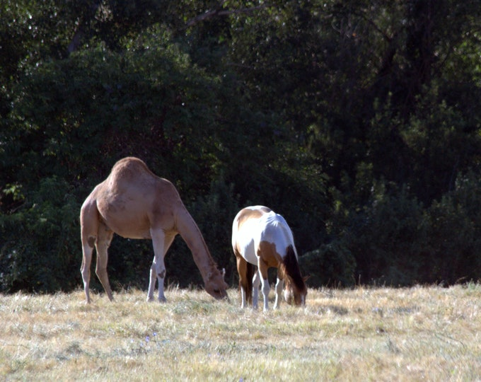 Friends - Camel and Horse Original Photography ThinWrap
