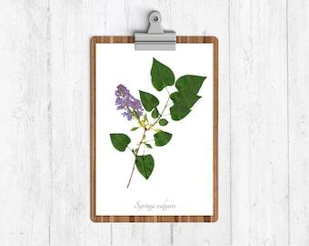 Lilac Botanical Print - Reproduction Garden Lilac Herbarium Art