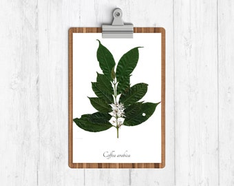 Coffee Botanical Art Print, Coffee Wall Art