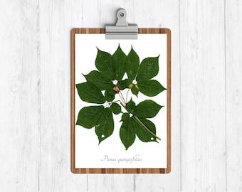 American Ginseng Botanical Art Print
