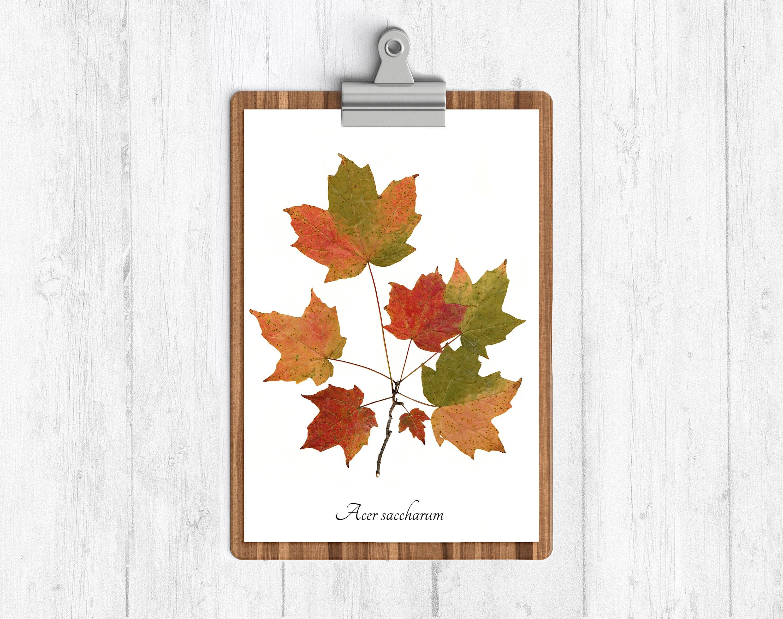Sugar Maple Leaves Botanical Print Autumn Home Decor