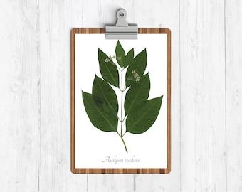 Poke Milkweed Herbarium Botanical Art Print