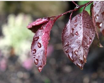 Spring Rain on Sandcherry