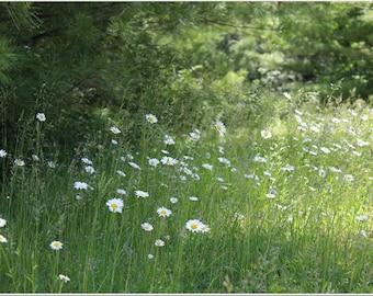 Field of Wild Daisies