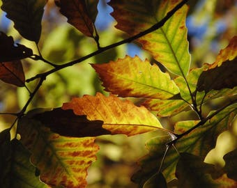Fall Leaves, original photography, photo canvas print