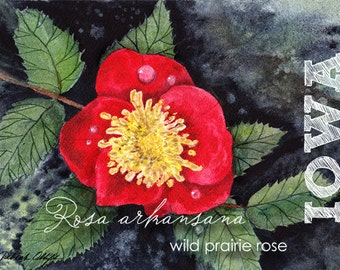 Iowa, Watercolor ACEO, State Flowers, Wild Prairie Rose, Rosa arkansana