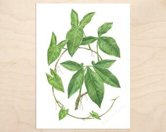Syngonium podophyllum -- Watercolor Botanical Art