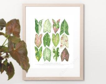 Syngonium podophyllum Varieties Print • Aroid houseplant ID guide featuring 12 watercolor foliage paintings • Unframed fine art print
