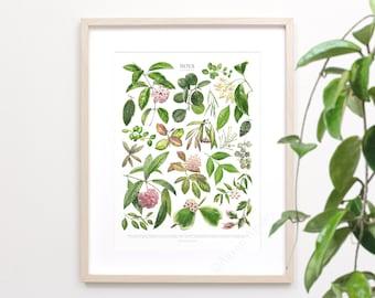 Hoya Species Print • Houseplant varieties ID chart featuring 21 watercolor paintings • Unframed fine art print