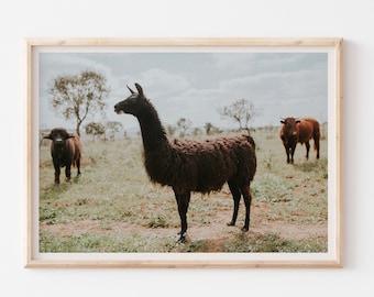 Llama Photography Print, Alpaca Wall Art, Black Animal Poster, Llama Wall Art, Farm Life Decor, Exotic Animal Wall Decor, Boho Decor