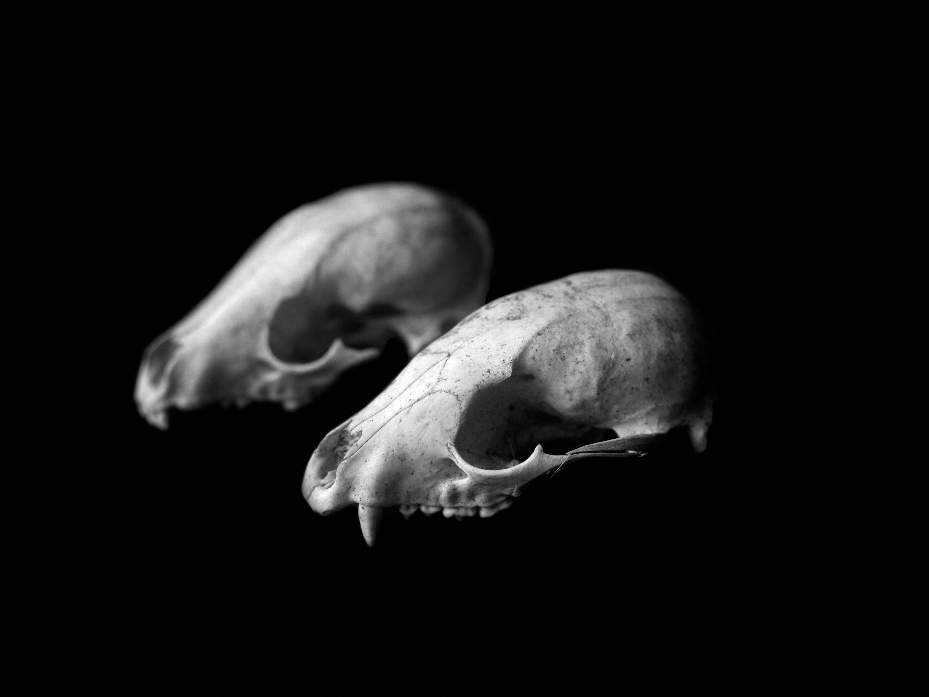 Double raccoon skull black white photograph matte