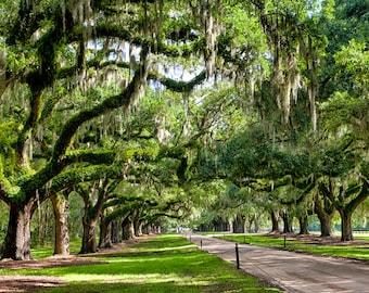 Avenue of Oaks - Boone Hall Plantation Charleston South Carolina - Fine Art Photograph - Oak Trees Spanish Moss