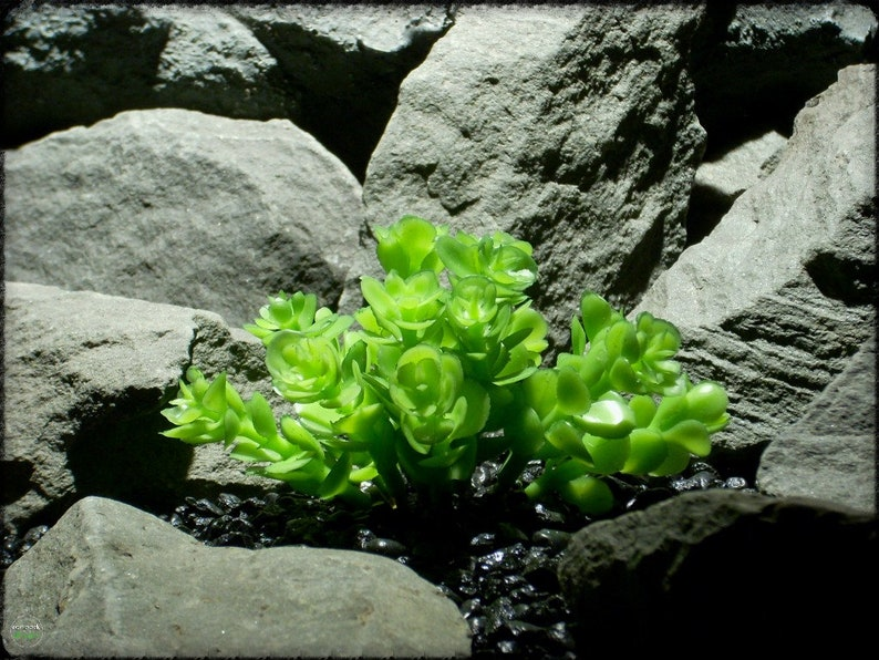 Sedum Pool Party Stonecrop Succulent Artificial Reptile Etsy