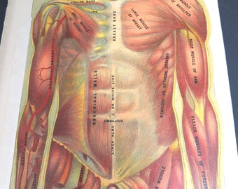 antique human body anatomy overlay charts, illustrated and colorized,  female medical diagrams, vintage