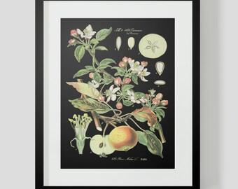 Botanical Apple Print Plate 421 Black Background