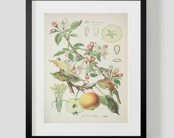 Botanical Apple Print Plate 421